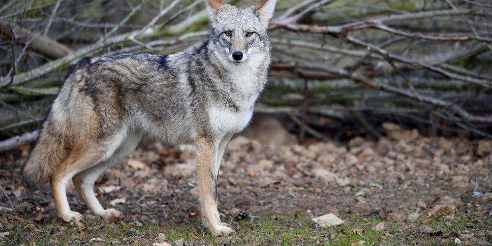 loup-ou-coyote-les-deux
